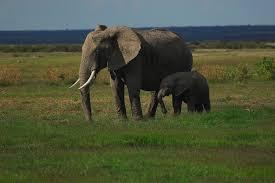 éléphant de kenya