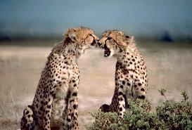 guépard de Kenya